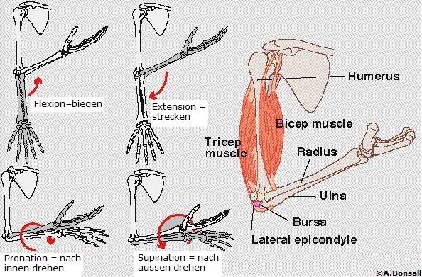 anatomie des ellebogengelenk