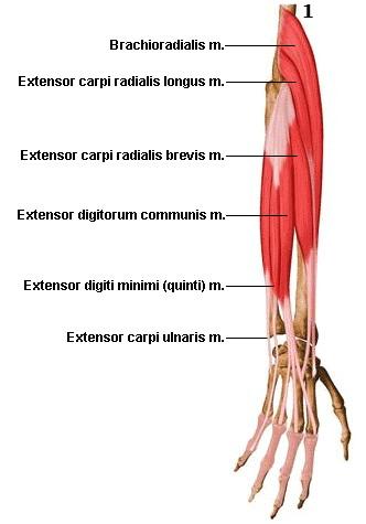 anatomie muskeln unterarm